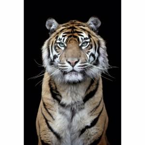 Quadro Decorativo Tigre Moderno Black Art